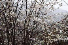 Körsbärsrött träd för vita blommor under snö fotografering för bildbyråer