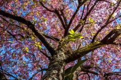 Körsbärsrött träd från botten till överkanten fotografering för bildbyråer