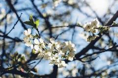 Körsbärsrött träd i blomning mot klar blå himmel Royaltyfri Fotografi