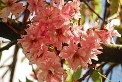 Körsbärsrött träd i den rosa blomningen - Irland, Maj arkivfoto