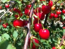 Körsbärsrött träd i en solig trädgård Royaltyfri Bild