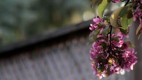 Körsbärsrött träd i en trädgård på solnedgången stock video