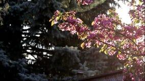 Körsbärsrött träd i en trädgård på solnedgången lager videofilmer