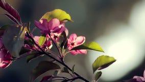 Körsbärsrött träd i en trädgård på solnedgången arkivfilmer