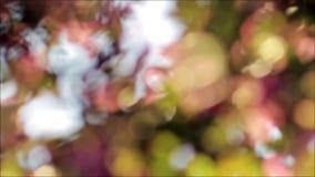 Körsbärsrött träd i en trädgård på suddig bakgrund för solnedgångabstrakt begrepp stock video