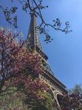 Körsbärsrött träd i Paris Royaltyfri Foto