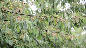 Körsbärsrött träd i regnet arkivfilmer