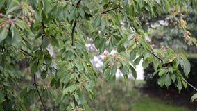Körsbärsrött träd i regnet stock video