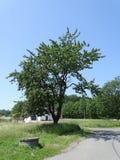 Körsbärsrött träd i sommar royaltyfri foto