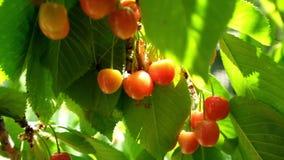 Körsbärsrött träd i sommarträdgård