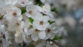 Körsbärsrött träd i trädgården lager videofilmer