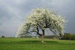 Körsbärsrött träd i vår Arkivbild