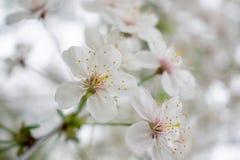 Körsbärsrött träd med blommor 2 royaltyfria foton