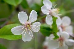 Körsbärsrött träd med blommor och greebsidor arkivbild