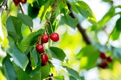 Körsbärsrött träd med frukter Fotografering för Bildbyråer