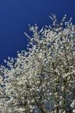 Körsbärsrött träd med massor av vita blommor och blå himmel i bakgrunden royaltyfria bilder