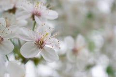 Körsbärsrött träd med vita blommor för backgroudn arkivbild