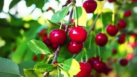 Körsbärsrött träd, mogna körsbär som är klara för val i ultrarapid lager videofilmer