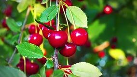 Körsbärsrött träd, mogna körsbär som är klara för val i ultrarapid arkivfilmer