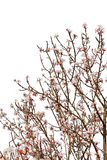 Körsbärsrött träd mycket av blommablomningar som isoleras på vit Arkivbilder