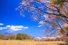 Körsbärsrött träd och berg Royaltyfri Foto