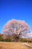 Körsbärsrött träd och blå himmel Royaltyfri Foto