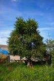 Körsbärsrött träd och stege royaltyfri foto