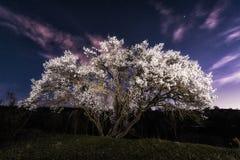 Körsbärsrött träd på natten Arkivfoto