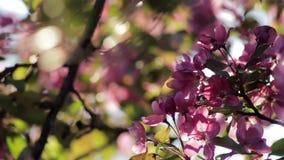 Körsbärsrött träd som blommar i en trädgård på solnedgången lager videofilmer