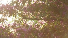 Körsbärsrött träd som blommar i en trädgård på solnedgången arkivfilmer