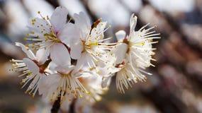 Körsbärsrött träd, vita körsbärsröda blomningar i Nobeoka Miyazaki Japan Royaltyfria Bilder