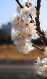 Körsbärsrött träd, vita körsbärsröda blomningar i Nobeoka Miyazaki Japan Arkivfoto