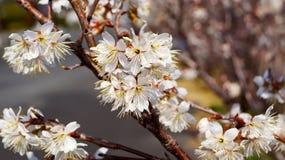 Körsbärsrött träd, vita körsbärsröda blomningar i Nobeoka Miyazaki Japan Arkivfoton