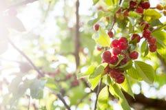 Körsbärträd Arkivfoto