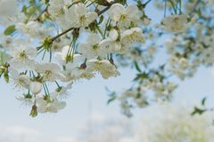 Körsbärträdgård Vårblomningbakgrund - abstrakt blom- gräns av gräsplansidor och vita blommor Arkivfoton