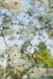 Körsbärträdgård Vårblomningbakgrund - abstrakt blom- gräns av gräsplansidor och vita blommor Royaltyfri Foto
