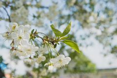 Körsbärträdgård Vårblomningbakgrund - abstrakt blom- gräns av gräsplansidor och vita blommor Arkivbilder