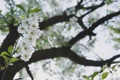 Körsbärträdgård Vårblomningbakgrund - abstrakt blom- gräns av gräsplansidor och vita blommor Royaltyfri Fotografi