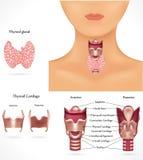körtelthyroid stock illustrationer