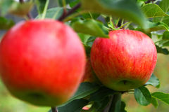 Köstliche Äpfel Stockfoto