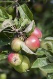 Köstliche Äpfel Lizenzfreies Stockbild