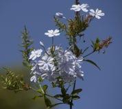 Köstliche blasse weiße Blumen der Bleiwurz Stockbilder