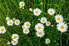 Köstliche Gänseblümchen im Gras Stockfotos