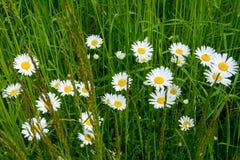 Köstliche Gänseblümchen im Gras Lizenzfreies Stockbild