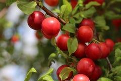 Köstliche Kirschepflaumen, die von einem Baumast im Obstgarten auf natürlichem Licht, Weichzeichnung hängen Es ist Spezies der Pf Lizenzfreies Stockbild