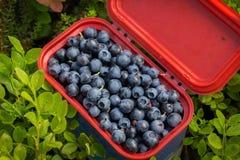 Köstliche reife Blaubeeren sammelten in einer roten Schüssel mit einem Deckel, der im Wald steht Stockfotografie