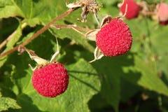 Köstliches Thimbleberries Stockfotografie