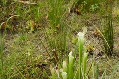 Köttätande möte för Sarracenia som äter växten Arkivbilder