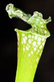 Köttätande växt för Sarracenia Arkivbild