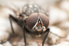 Köttfluga Arkivbild